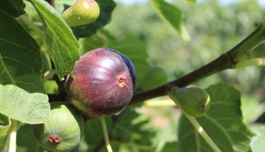 Growing Fresh Market Figs with Steve Schafer