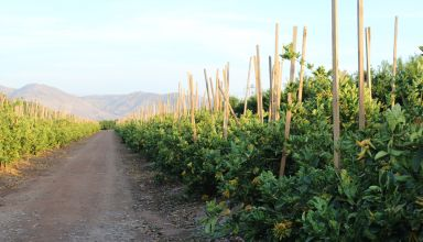 Citrus Crop Update with Central Valley Grower Arlen Miller
