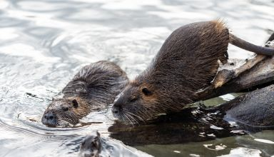 Invasive Nutria Damages CA Waterways — Requesting Farmer Assistance!