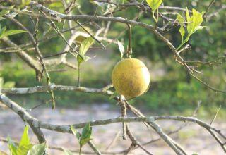 diseased florida tree