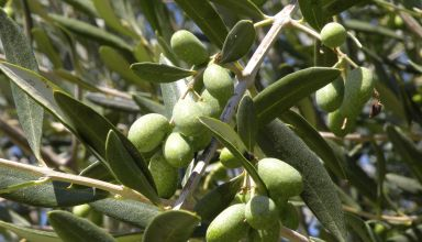 olive oil day
