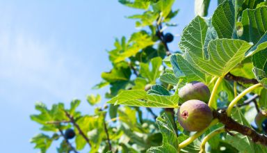 Navel Orangeworm Management in Figs